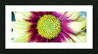 Chrysanthemum Daisy Picture Frame print