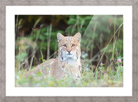 Wild Bobcat Picture Frame print
