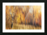 Autumn Birches Picture Frame print