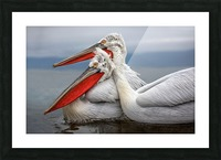 Dalmatian Pelicans Picture Frame print