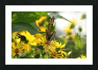 Giant Swallowtail Wings Folded Picture Frame print
