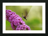 Hummingbird Moth Sipping Nectar Impression et Cadre photo