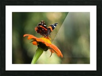 Mexican Sunflower With Red Admiral Picture Frame print