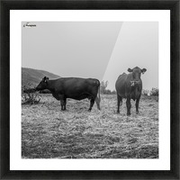 Cows in the mist Picture Frame print
