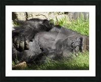 Gorilla Glare Picture Frame print