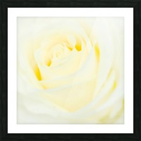 The White Rose Picture Frame print