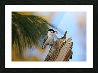 Nutty Nuthatch Picture Frame print