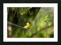 Goldfinch On The Disappearing Line Picture Frame print