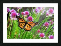 Monarch And Chives Picture Frame print