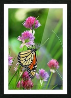 Monarch Butterfly On Chive Blooms Picture Frame print