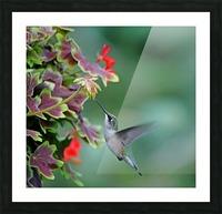 Hummingbird Loving The Orange Geranium Picture Frame print