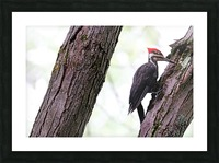 Pileated Woodpecker Checking The Cracks Picture Frame print