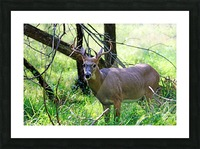 A Buck In The Grass Picture Frame print