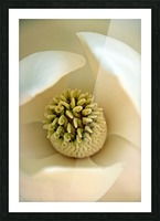 Heart of the Magnolia Picture Frame print