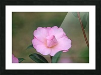 Pink Camellia Picture Frame print