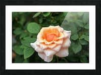 Pretty as a Rose II Picture Frame print