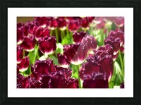 Plants - Flowers - 006 Picture Frame print