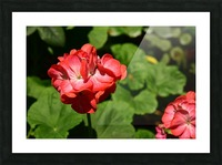 Plants - Flowers - 010 Picture Frame print