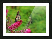 Monarch In The Garden Picture Frame print