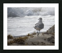 Seagull running Picture Frame print