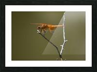 Orange Dragonfly Picture Frame print