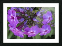 Purple Flower Blooming Picture Frame print