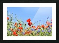 poppy, alpine cornflower, centaurea montana, flower, flower meadow, blossom, bloom, flora, plant, wild flower, garden, meadow, nature, field, petals, leaves, stems, Picture Frame print