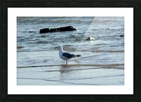 seagull 2 Picture Frame print