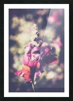 Lupine Fuchsia Picture Frame print