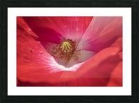 Poppy Flower Picture Frame print