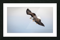 Mature Bald Eagle aiming for prey. Picture Frame print