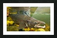 Atlantic salmon Male.  Picture Frame print
