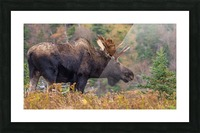 Bull moose on top of Blueberry mountain Cape Breton highlands Picture Frame print