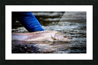 Salmon release Picture Frame print