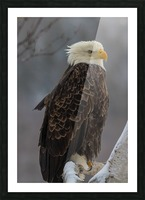 Bald eagle in tree Picture Frame print