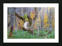 Old dead tree Picture Frame print