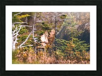 Bull Moose Picture Frame print
