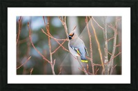Bohemian waxwing Picture Frame print