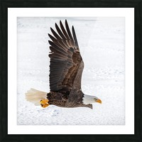Bald Eagle Picture Frame print