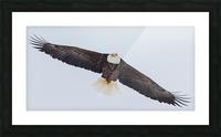 Bald Eagle Picture Frame print