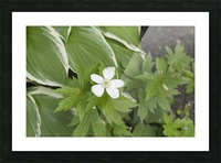 Wood Anenome Picture Frame print