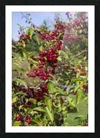 Sumac Bush in Autumn 2 Picture Frame print