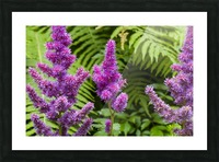 Red Astilbe 1 Picture Frame print