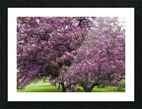 Blooming Crab Apple Trees Picture Frame print