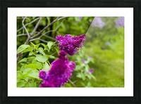 Purple Lilac Picture Frame print