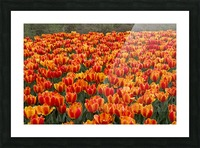 Ottawa Tulip Festival 9 Picture Frame print
