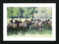 Elk Red Tailed Deer or Wapiti 16 Impression et Cadre photo