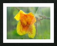 Canna Lily Digital Painting 52 70 200px Picture Frame print