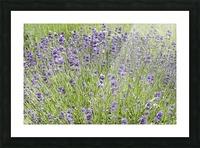 Lavender plants 7 Picture Frame print