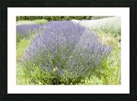 Lavender plants 1 Picture Frame print